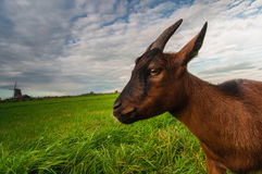 Une chèvre sur le pré vert et un moulin à vent Image stock