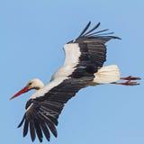 Une cigogne blanche Photos libres de droits