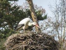 Une cigogne dans son nid de cigogne Photos stock