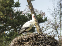 Une cigogne dans son nid de cigogne Photographie stock libre de droits