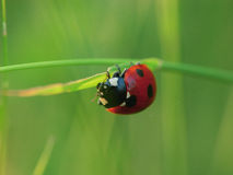 Une coccinelle Images stock