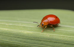 Une coccinelle orange sur la feuille Photo libre de droits