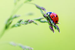 Une coccinelle se reposant sur une herbe. Photographie stock