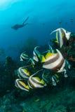 Une école des poissons de bannière de longfin Photographie stock
