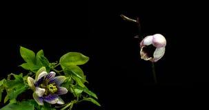 Une collection de passiflore de floraison et orchid?es, un collage de deux timelaps banque de vidéos