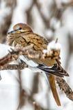 Une colombe à ailes blanche classique était perché sur frottent la branche de chêne photos libres de droits