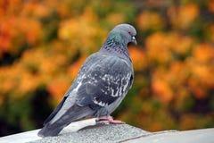 Une colombe photo stock
