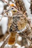 Une colombe Blanc-à ailes sauvage tourne les plumes texturisées de retour de indication et les couleurs vibrantes photographie stock