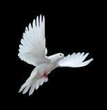 Une colombe blanche de vol libre d'isolement sur un noir Photographie stock