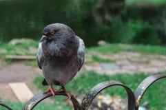 Une colombe sur la barrière Photo stock