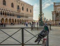 Une colombe sur la place de St Mark photos stock