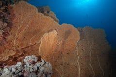 Une colonie de ventilateur de mer géant sain (mollis d'annella) Photo stock
