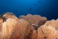 Une colonie de ventilateur de mer géant sain (mollis d'annella) Image libre de droits