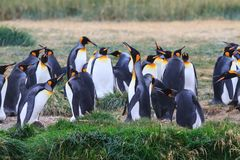Une colonie du Roi Penguins, patagonicus d'Aptenodytes, se reposant dans l'herbe chez Parque Pinguino Rey, Tierra del Fuego Patag Photographie stock libre de droits
