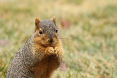 Une consommation 3 d'écureuil Photographie stock libre de droits