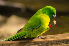 Une consommation verte d'oiseau photos stock