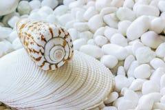 Une coquille de mer Image libre de droits