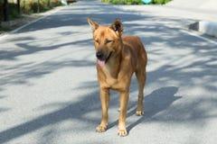 Une couleur thaïlandaise de brun de chien avec des yeux regardant à son propriétaire Chien de redevance image libre de droits
