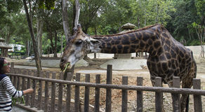 Une courbure de girafe vers le bas pour l'alimentation végétale Photographie stock