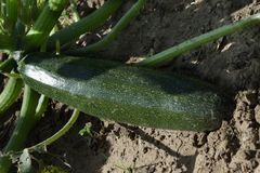 Une courgette mûre, courgette se trouve sur la correction de jardin de jardin Fermez-vous vers le haut de l'arrière de la vieille Photographie stock libre de droits