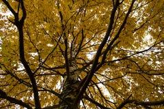 Une couronne étendue d'un arbre d'automne avec les feuilles jaunes Photos libres de droits