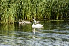 Une couvée des cygnes, se composant d'une mère de cygne et de quatre cygnes de bébé, flotteurs le long de la rivière près des ros image stock