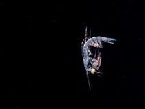 Une crevette de mante larvaire la nuit photographie stock libre de droits