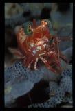 Une crevette de saron frottant une pose Image libre de droits