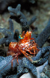 Une crevette orange lumineuse minuscule de saron, Indonésie Photos stock
