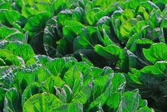 Une culture des légumes avec le grand vert laisse l'élevage en Californie centrale Photo stock