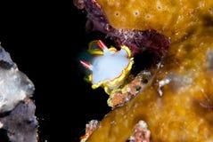 Une déesse de mer inclinée par rouge (sedna de Glossodoris) Photographie stock libre de droits
