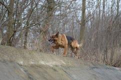 Une démarche importante d'un chien Image libre de droits