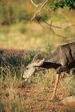 Une daine de cerfs communs whitetailed par jeunes frôle dans la forêt photographie stock