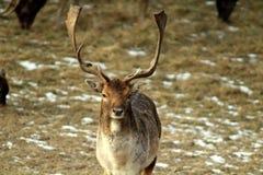 Une daine européenne masculine adulte et grande avec de grands klaxons dans son habitat naturel Excellente illustration de sauvag photo stock