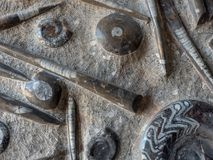 Une dalle en pierre avec des draines pétrifiés des mollusques marins : longs tuyaux de bélemnite et cercles d'ammonite Images stock