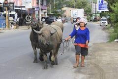 Une dame pluse âgé mène un buffle par la route de Balige Photos libres de droits
