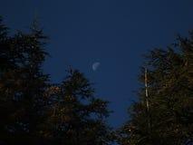 Une demi-lune capturée entre les arbres de cèdres Photographie stock libre de droits