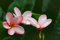 Une disposition du rose trois et du Frangipani d'or image libre de droits