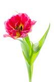 Une double tulipe tôt d'isolement sur le blanc Images stock