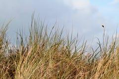 une dune est une colline du sable lâche construite par des processus éoliens et s'appelle l'arénaire d'Ammophila, gras européens  Image libre de droits