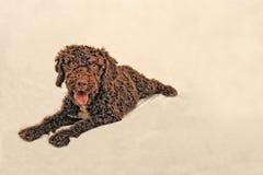 Une eau espagnole de chien regardant à la caméra photo stock