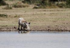 Une eau potable de phacochère Photographie stock libre de droits