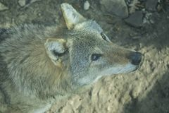 Une examination directement votre âme d'une femelle grave de loup Bête extrêmement dangereuse images libres de droits