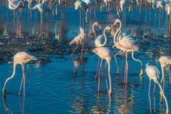 Une extravagance de plus grands flamants pataugeant dans l'eau dans la lumi?re d'or au coucher du soleil, Duba? images stock