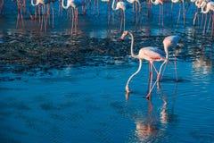 Une extravagance de plus grands flamants pataugeant dans l'eau dans la lumi?re d'or au coucher du soleil, Duba? image stock