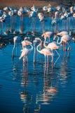 Une extravagance de plus grands flamants pataugeant dans l'eau dans la lumi?re d'or au coucher du soleil, Duba? photo stock