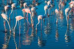 Une extravagance de plus grands flamants pataugeant dans l'eau dans la lumi?re d'or au coucher du soleil, Duba? images libres de droits