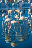 Une extravagance de plus grands flamants pataugeant dans l'eau dans la lumi?re d'or au coucher du soleil, Duba? image libre de droits