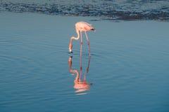 Une extravagance de plus grands flamants pataugeant dans l'eau dans la lumi?re d'or au coucher du soleil, Duba? photos stock