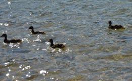 Une famille de canard Images stock